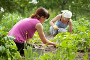 Women gardening in an allotment