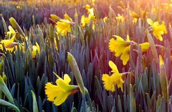Gardening tips – daffodils