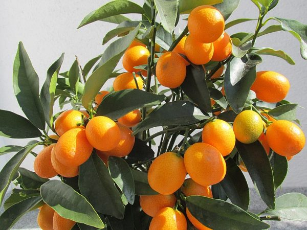 Best summer houseplants - kumquat tree