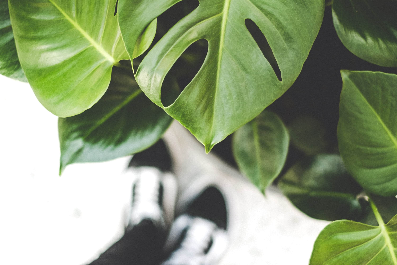 Best summer houseplants - swiss cheese plant