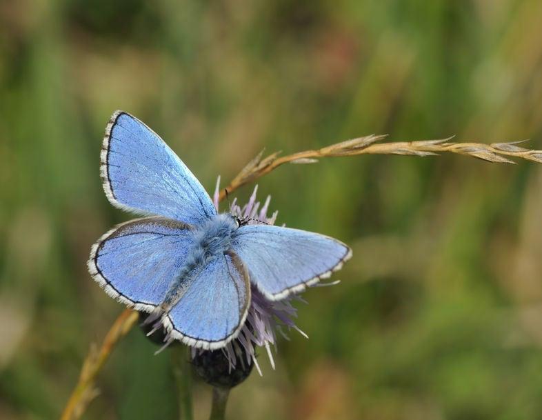 Adonis Blue Butterfly - Lysandra bellargus
