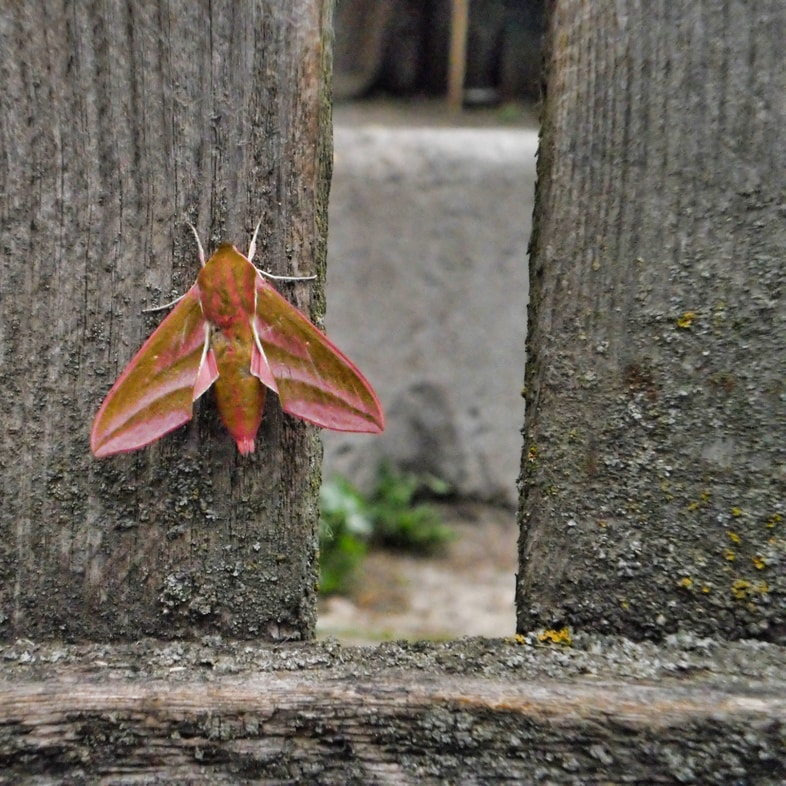119461190 - big night moth on a wooden fence, a beautiful insect