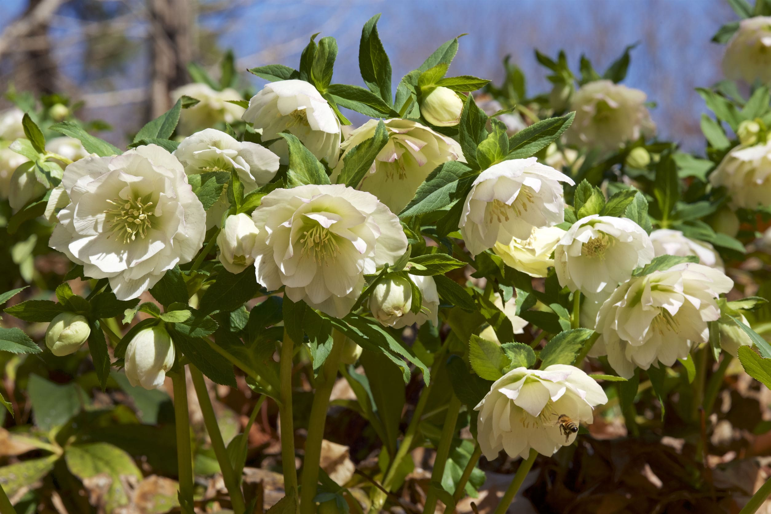 How To Grow And Care For Hellebores Westbury Garden Rooms
