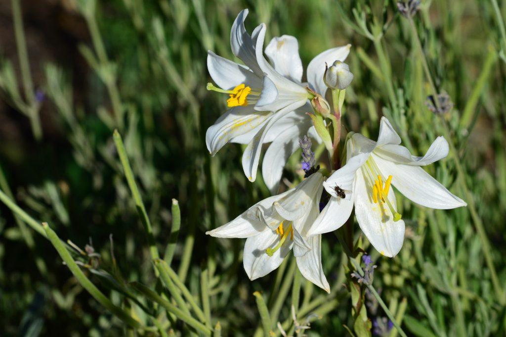 Lilium-Candidum-madonna-lily